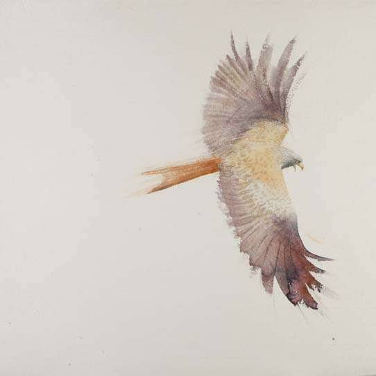 Red Kite Cry